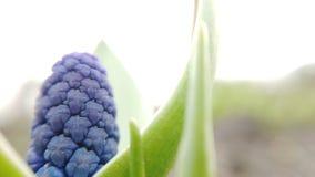 美丽的蓝色穆斯卡里花英尺长度在春天庭院里开花 影视素材