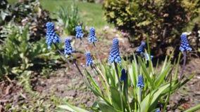 美丽的蓝色穆斯卡里花英尺长度在春天庭院里开花 股票录像