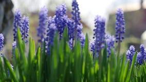 美丽的蓝色花在风摇摆 一个小黄蜂会集花粉 慢动作充分的hd 1080p 股票录像