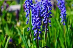 美丽的蓝色花穆斯卡里蛇蝎葱老鼠风信花 库存照片