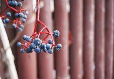 美丽的蓝色莓果 库存照片