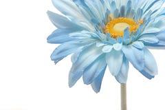 美丽的蓝色雏菊大丁草查出的白色 库存图片
