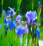 美丽的蓝色黄色虹膜 在一个绿色领域的花 春天夏天背景 图库摄影