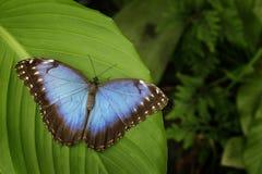 美丽的蓝色蝴蝶蓝色Morpho, Morpho peleides,坐绿色叶子,哥斯达黎加 图库摄影