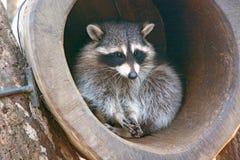 美丽的蓬松浣熊,坐在凹陷和神色在它外面 库存图片