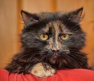 美丽的蓬松龟甲猫 免版税库存照片