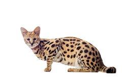 美丽的薮猫, Leptailurus薮猫 库存图片