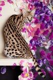 美丽的薮猫, Leptailurus薮猫 库存照片