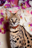 美丽的薮猫, Leptailurus薮猫 免版税库存图片