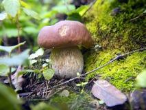 美丽的蘑菇在森林里 免版税图库摄影
