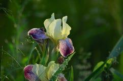 美丽的虹膜 库存图片