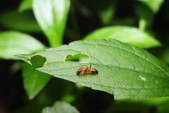 美丽的蚂蚁 免版税库存图片