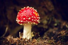 美丽的蛤蟆菌蘑菇 库存照片