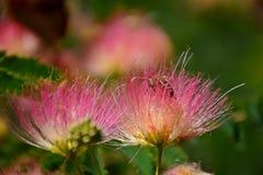 美丽的蜂坐花并且收集花粉 库存照片
