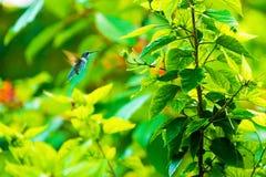 美丽的蜂鸟和花 库存照片