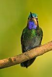 美丽的蜂鸟 从山云彩森林的蓝色和绿色小鸟在哥斯达黎加 壮观的蜂鸟, Eugenes fulgen 库存图片