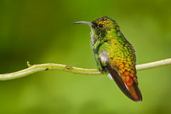 美丽的蜂鸟 铜制带头的绿宝石, Elvira cupreiceps,美丽的蜂鸟从,绿色鸟,场面在热带森林里 库存照片