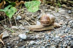 美丽的蜗牛或子弹细节照片  免版税库存图片