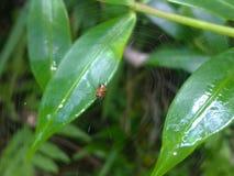 美丽的蜘蛛在斯里兰卡 免版税图库摄影