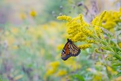 美丽的蝴蝶国君 免版税库存图片