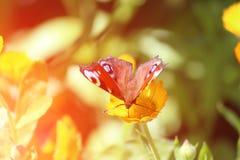 美丽的蝴蝶坐在关闭的万寿菊金盏草  医学花 免版税库存图片