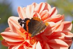 美丽的蝴蝶坐明亮的桔黄色大丽花花在一温暖和晴朗的秋天天 免版税图库摄影