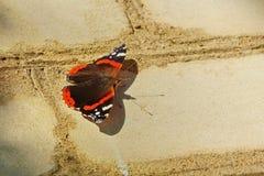 美丽的蝴蝶坐砖墙脆弱轻微 免版税库存图片