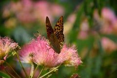 美丽的蝴蝶坐花并且收集花粉 库存照片