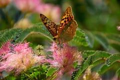 美丽的蝴蝶坐花并且收集花粉 免版税库存图片