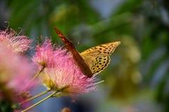 美丽的蝴蝶坐花并且收集花粉 库存图片