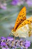 美丽的蝴蝶桔子 免版税库存照片
