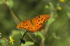 美丽的蝴蝶桔子 免版税图库摄影