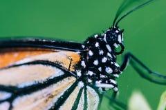 美丽的蝴蝶特写镜头射击中意的神色  免版税库存照片