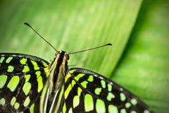 美丽的蝴蝶盯梢了杰伊,在热带f的Graphium agamemnon 免版税库存照片