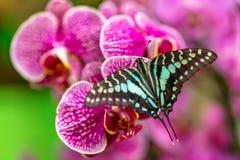 美丽的蝴蝶盯梢了杰伊, Graphium agamemnon,在热带 免版税库存照片
