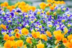 美丽的蝴蝶花、中提琴或者紫罗兰色花在庭院里 免版税库存图片