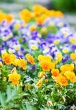 美丽的蝴蝶花、中提琴或者紫罗兰色花在庭院里 免版税库存照片