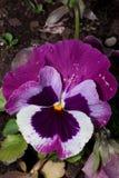 美丽的蝴蝶花在一个绿色草甸增长 活自然 库存图片