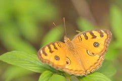 美丽的蝴蝶ii桔子 免版税库存照片