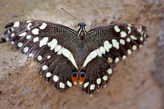美丽的蝴蝶Vanessa 免版税库存图片