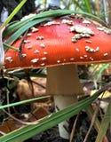 美丽的被察觉的红色蘑菇在森林沼地 在大关闭 免版税库存图片