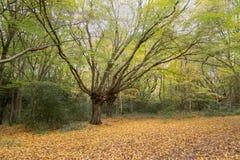美丽的被展开的秋天树在森林里 库存图片