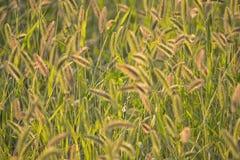 美丽的被日光照射了金黄发光的草在草甸 免版税库存照片