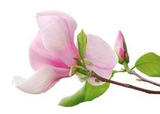美丽的被隔绝的活木兰花 免版税库存照片
