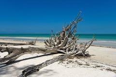 美丽的被风化的漂流木头 免版税库存照片