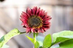 美丽的装饰向日葵在庭院里 免版税库存照片