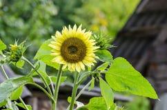 美丽的装饰向日葵在庭院里 库存图片