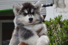 美丽的西伯利亚爱斯基摩人小狗 库存照片