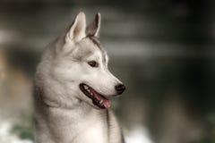 美丽的西伯利亚爱斯基摩人狗喜欢狼 库存图片