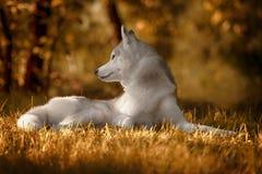 美丽的西伯利亚爱斯基摩人狗喜欢狼 免版税图库摄影
